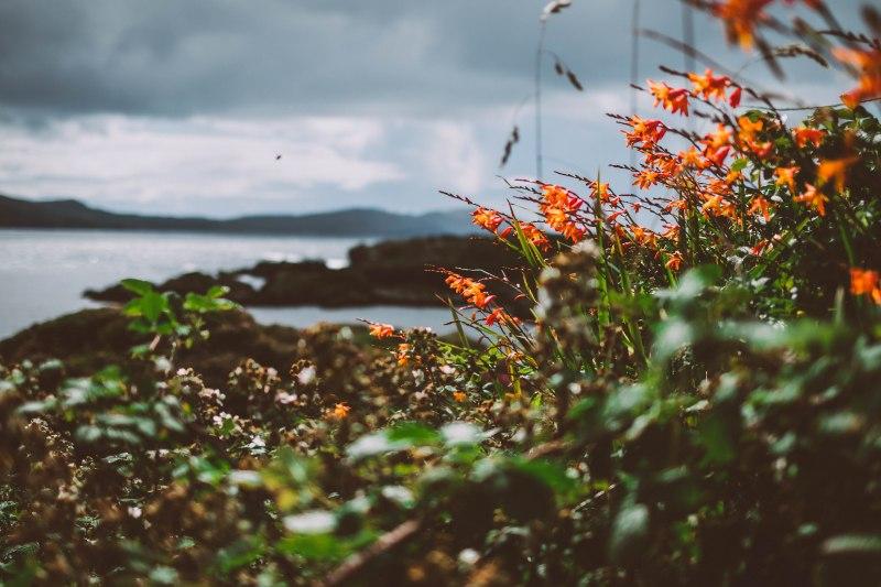 Blüten in Irland am Meer